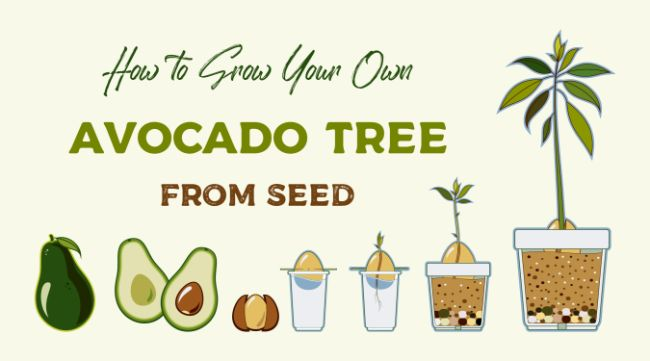 how-to-grow-an-avocado-from-seed-20